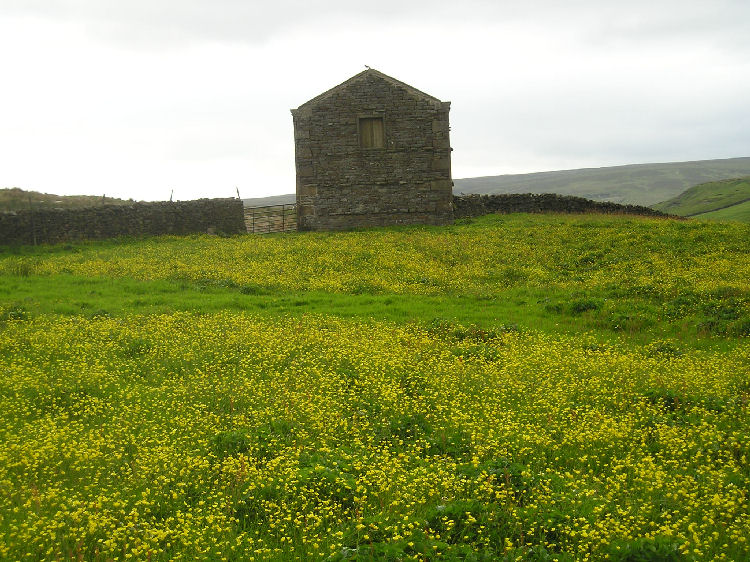 Swaledale meadow and barn with Curlew on top near Keld